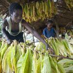 Welttag gegen Kinderarbeit: Raus aus dem Tabakanbau
